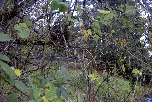 Even with the leaves gone, the nest is still somewhat hidden.