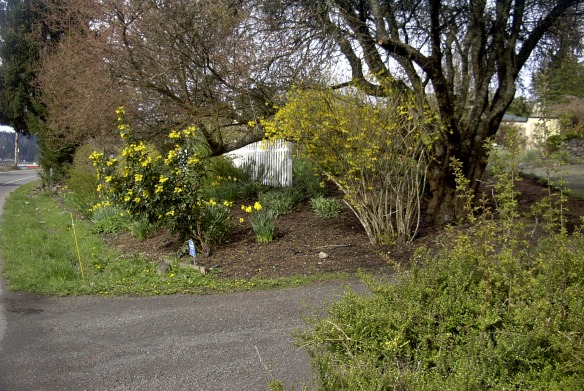 Yellow trio in my neighbors' yard: oregon grape, daffodils, and forsythia, all blooming at once