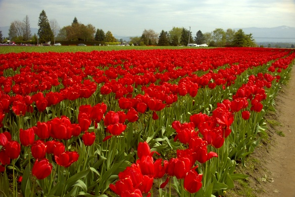 The tulip fields in Mt. Vernon, WA