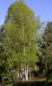 A birch tree Janet and Alice brought from Europe.