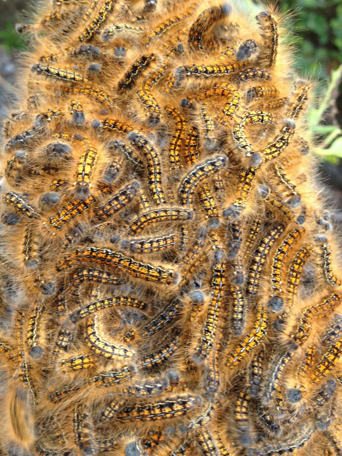 Lisa'scaterpillars